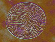 Loupe fingerprint