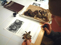 Researching earthstar fungi in Private Eye lab with jeweler's loupes